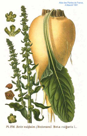 Illustration of Sugar Beet from Wikipedia commons